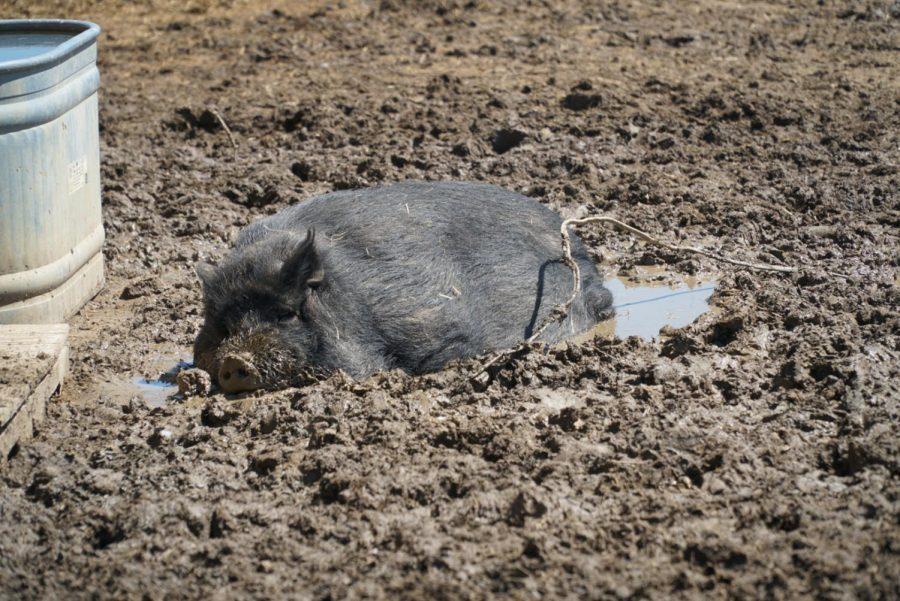 Moss, a Pot Belly- American Guinea cross, basks in the sun while enjoying a mud bath. Photo by Astin Ramos